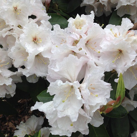 rhododendron loderi pink diamond
